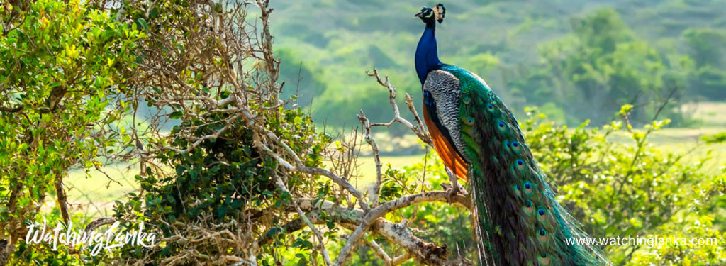 Bird Watching Sri Lanka