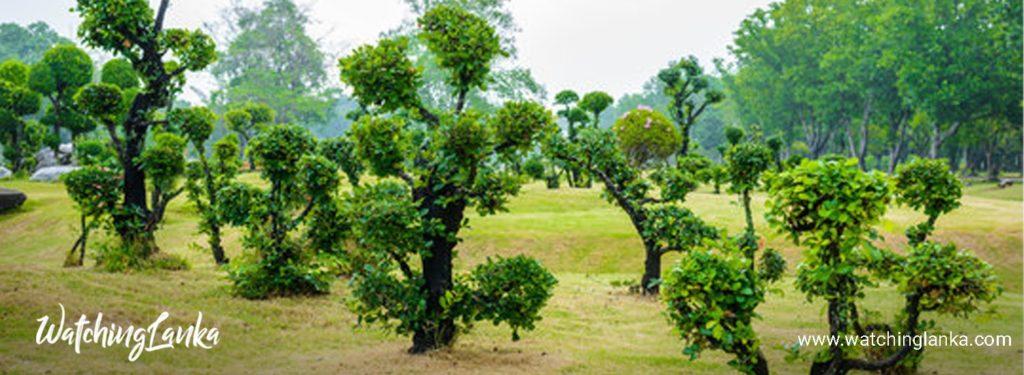 Ebony Tree (Kaluwara Tree)