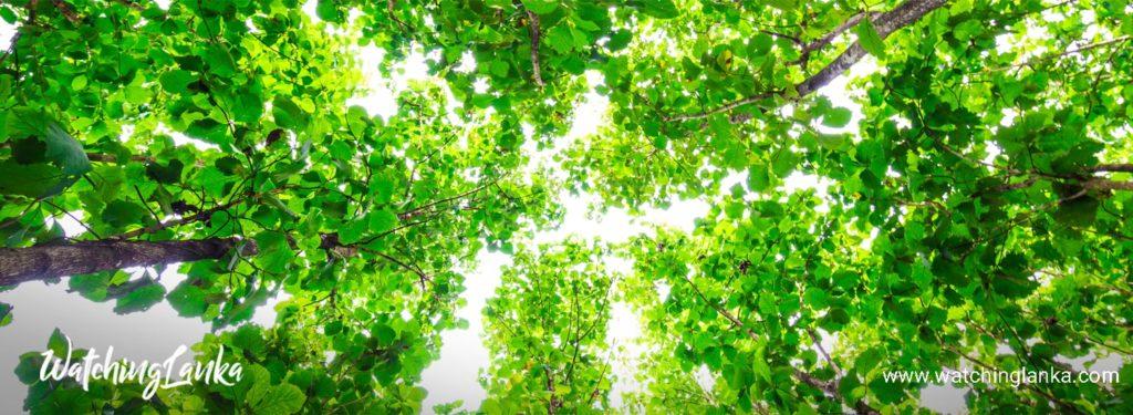 Tectona Tree