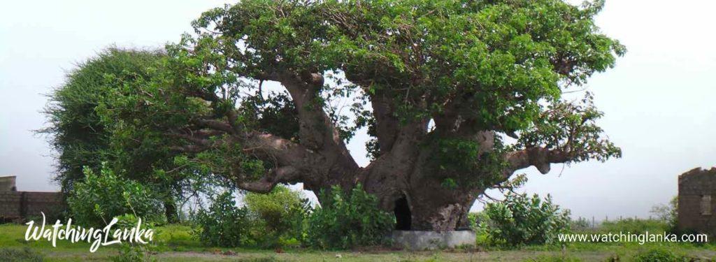 Baobab Tree in Mannar